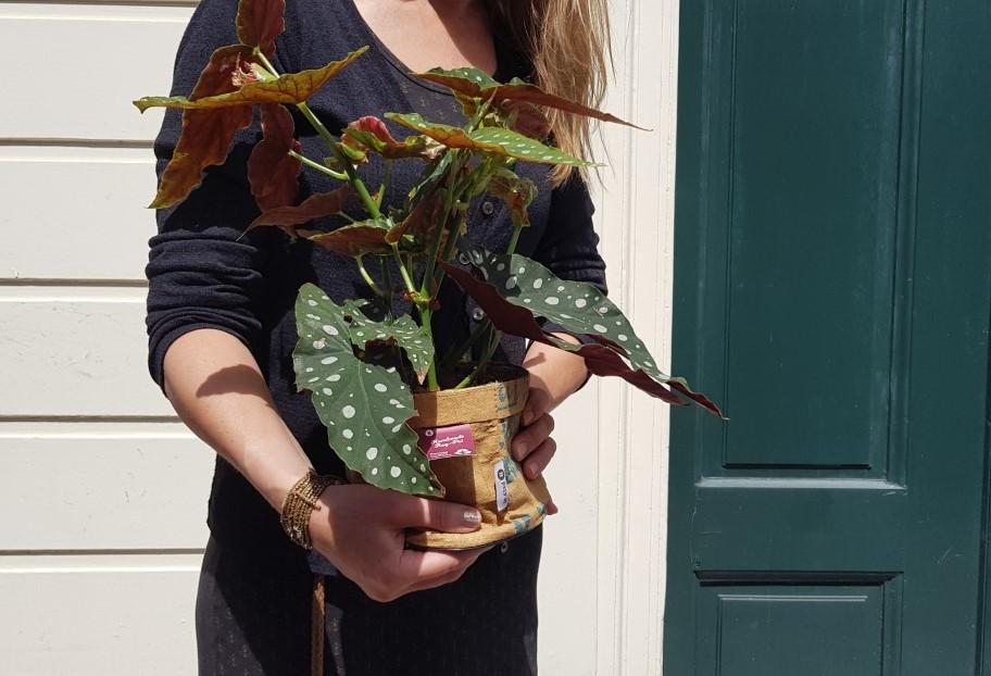 Duurzaam gekweekte polkadot begonia